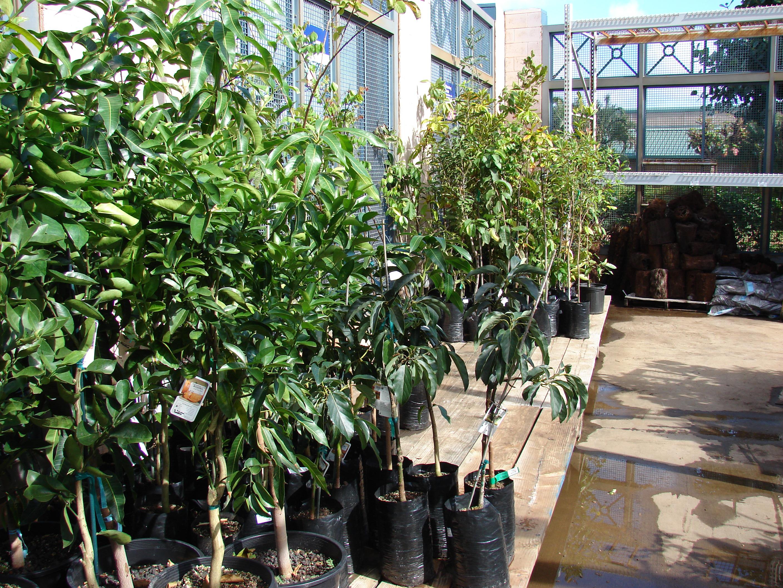 File:Starr 080103 1450 Citrus Sinensis Plants For Sale Lowes
