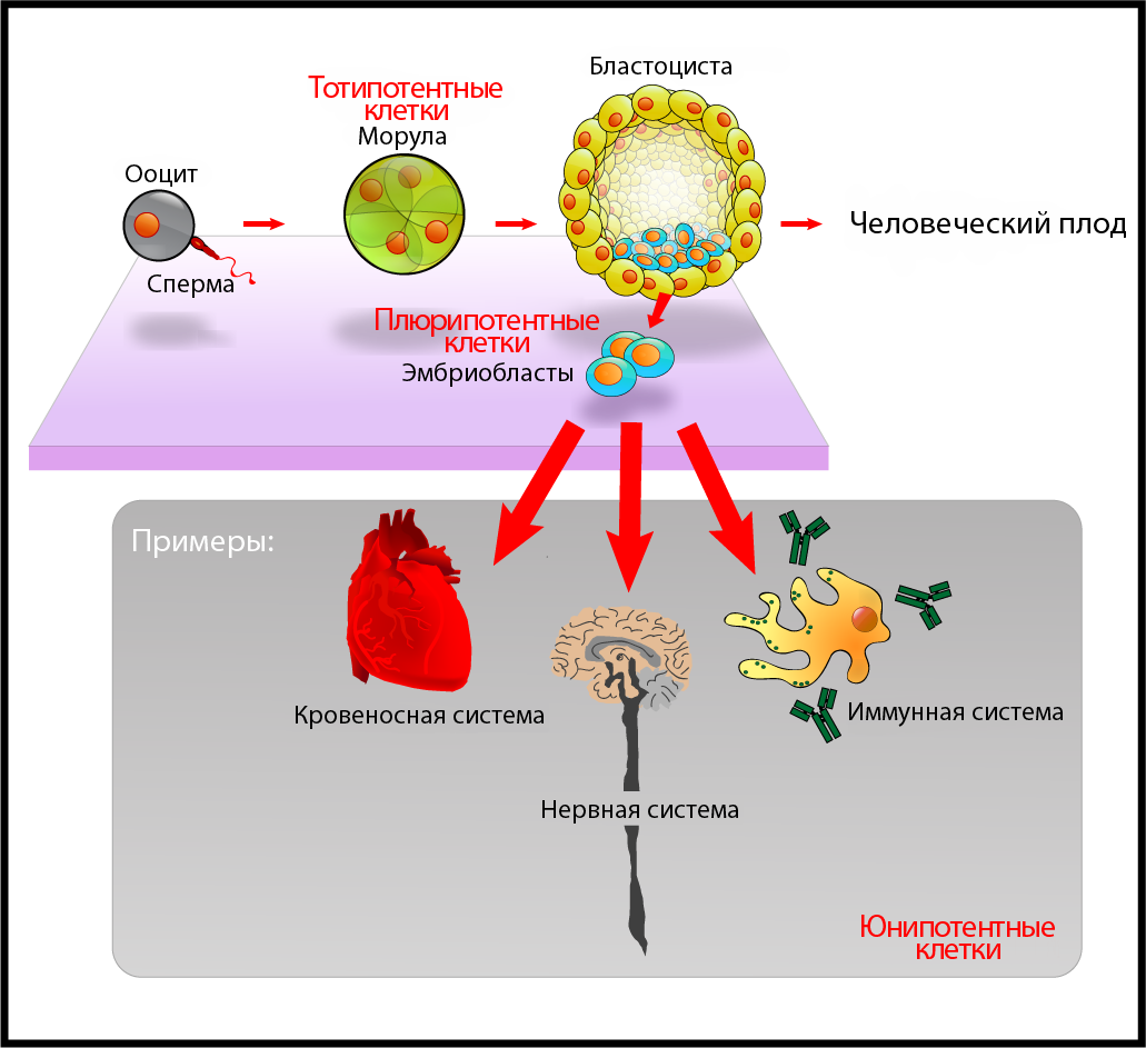 http://upload.wikimedia.org/wikipedia/commons/b/bd/Stem_cells_diagram_rus.png