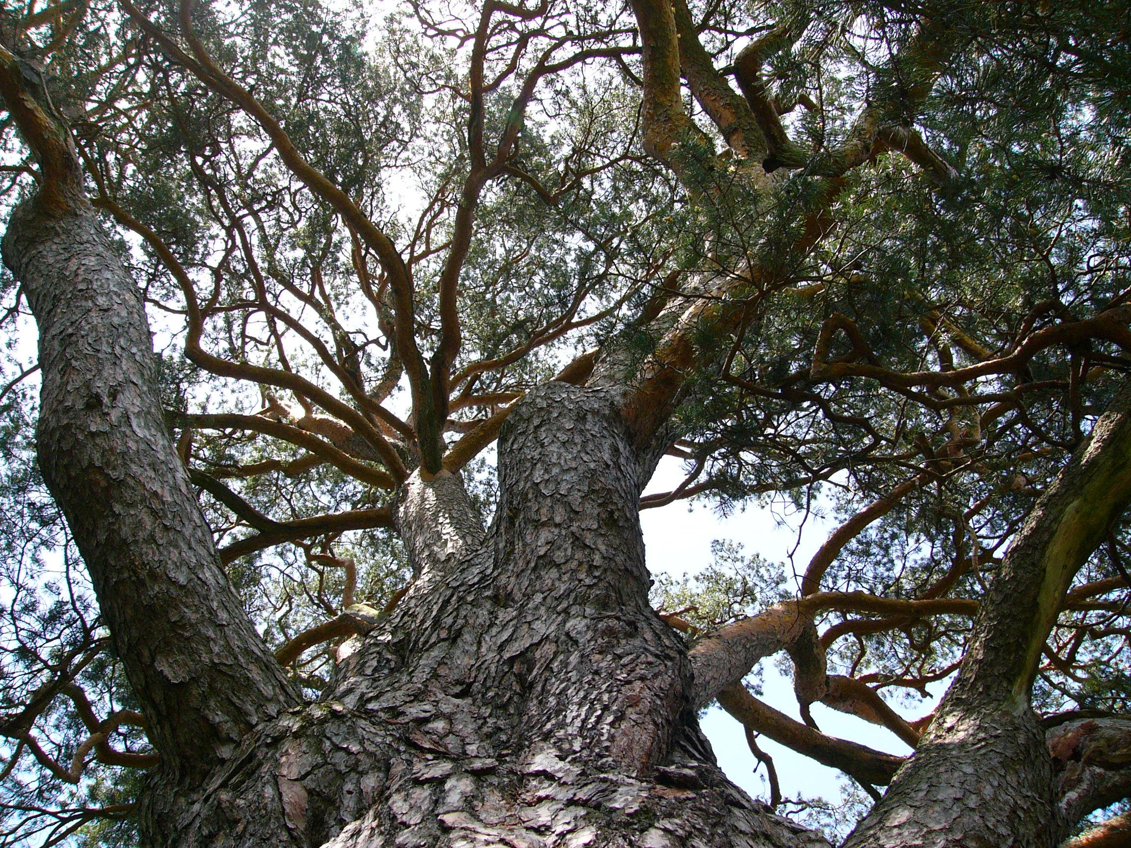 Veľké Pinus pics