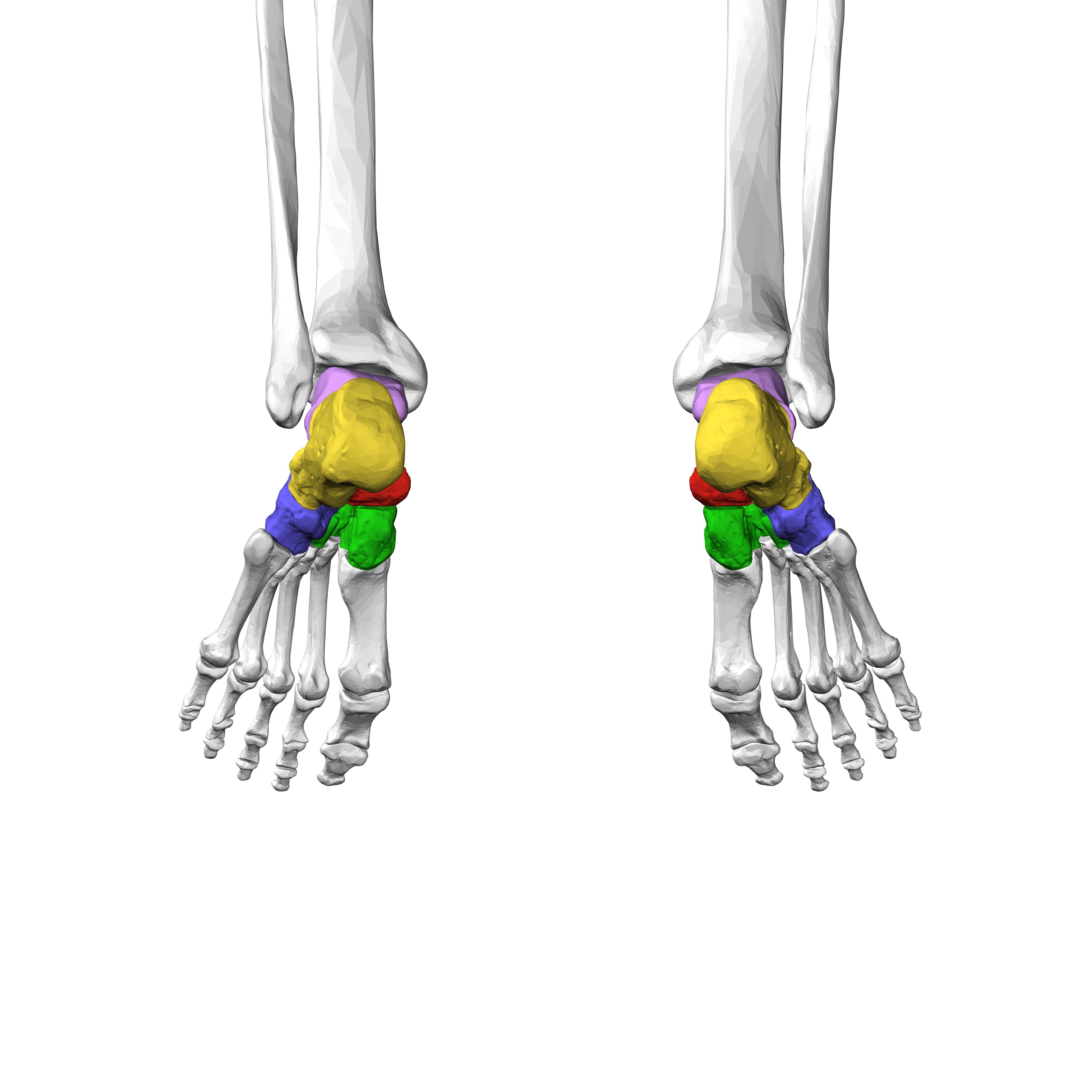 Bones In A Dog S Foot