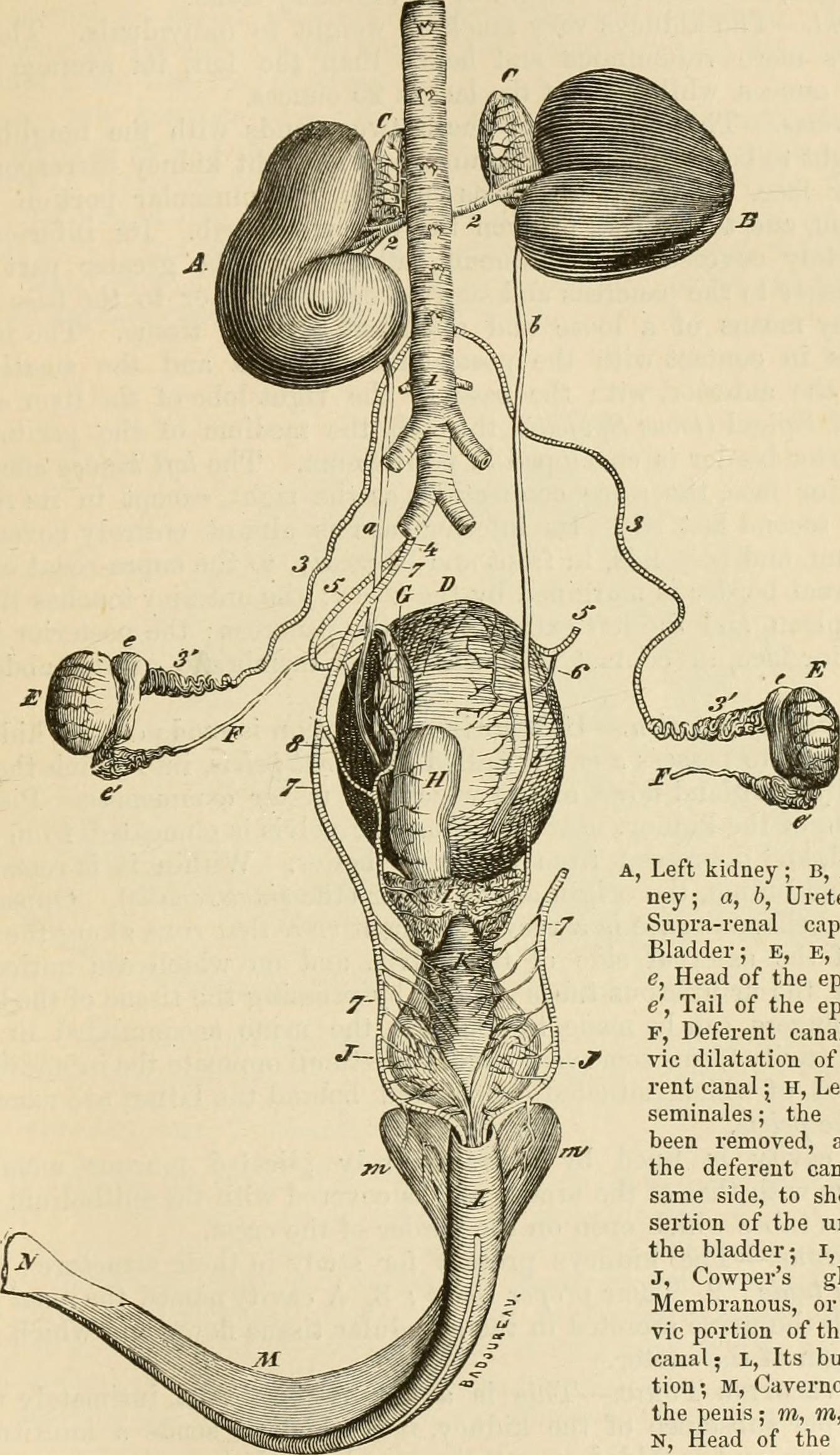 Wunderbar Supra Bereich Anatomie Ideen - Anatomie Von Menschlichen ...