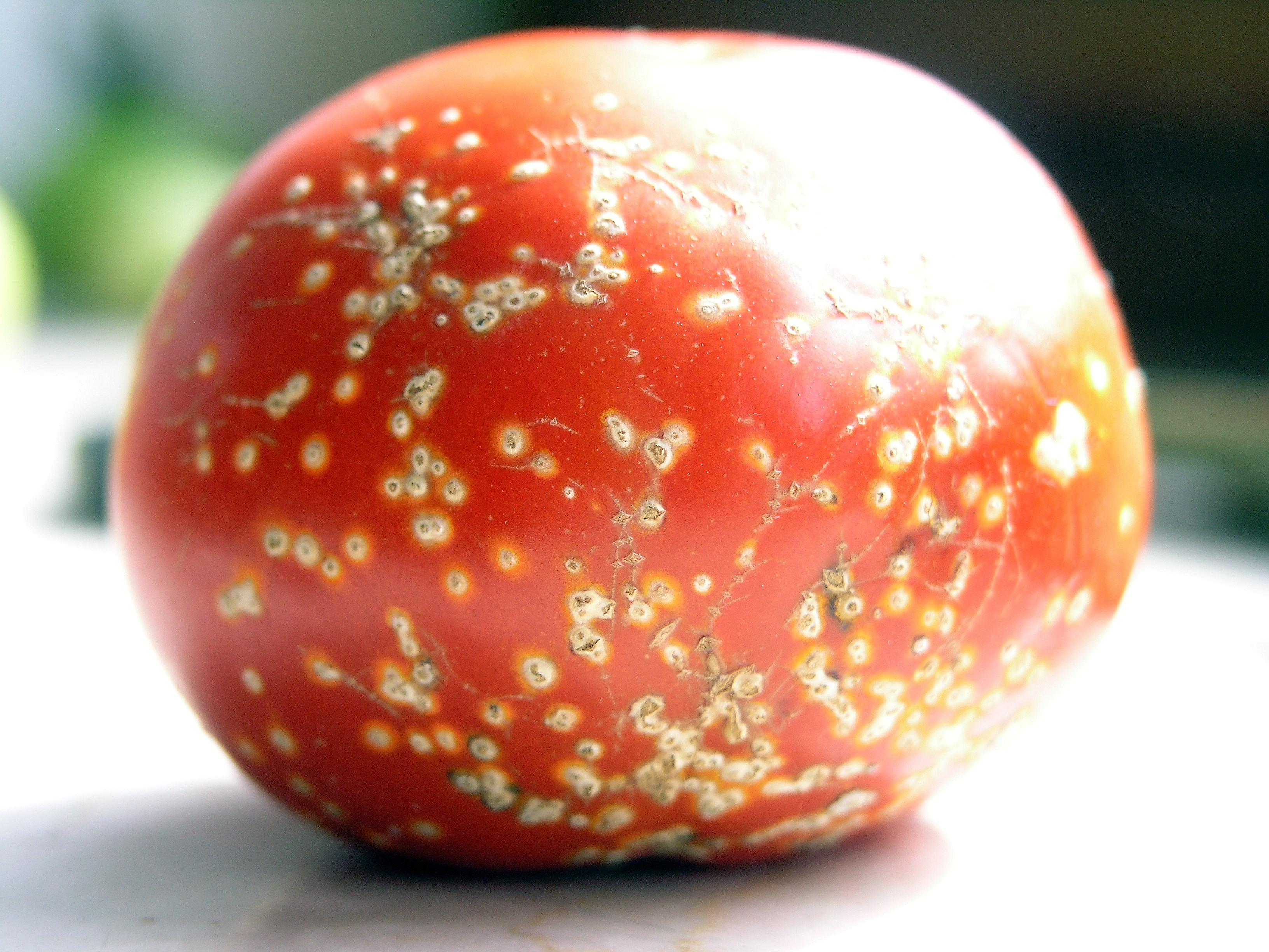 Chancre bactérien de la tomate - Wikiwand