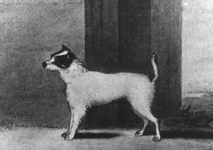 Original Parson's Terrier, Trump