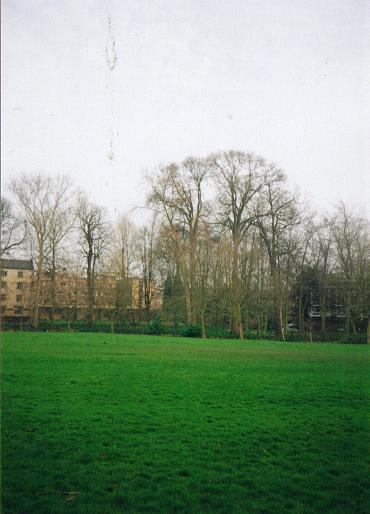 Ulmus Hollandica Cicestria Wikipedia
