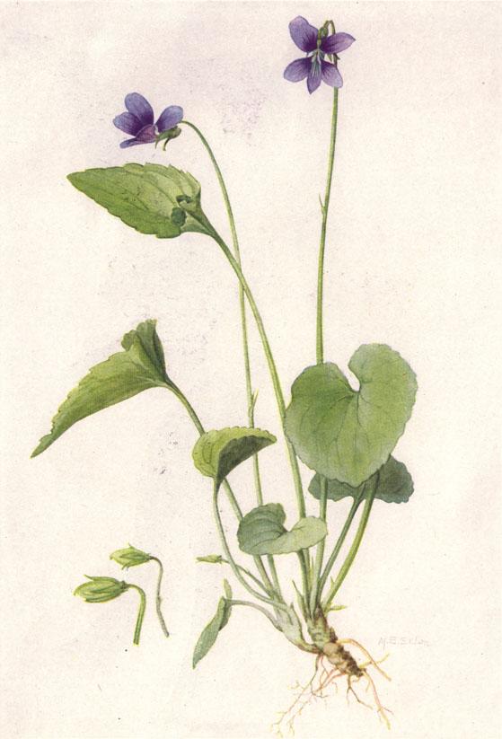 File:Violet (NGM XXXI p505).jpg - Wikimedia Commons