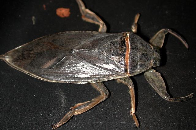 Ficheiro:Water bug (Marshal Hedin).jpg