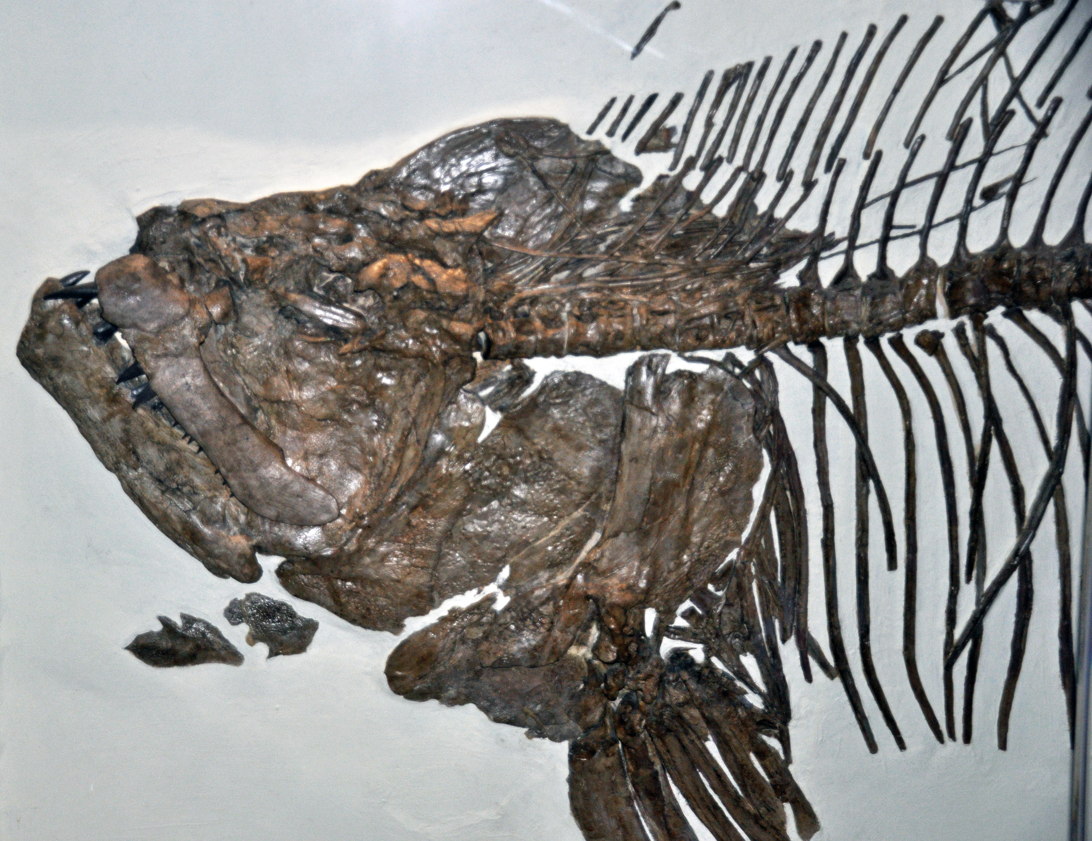 File:Xiphactinus audax (fossil fish) (Niobrara Formation ...