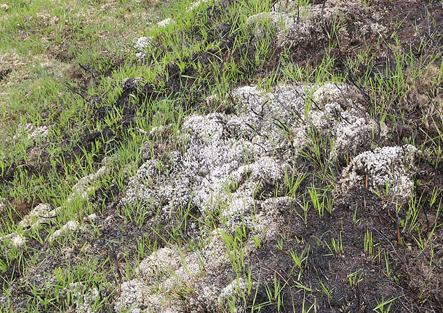 File:Young grass shoots after controlled burning, New Forest - geograph.org.uk - 176998.jpg