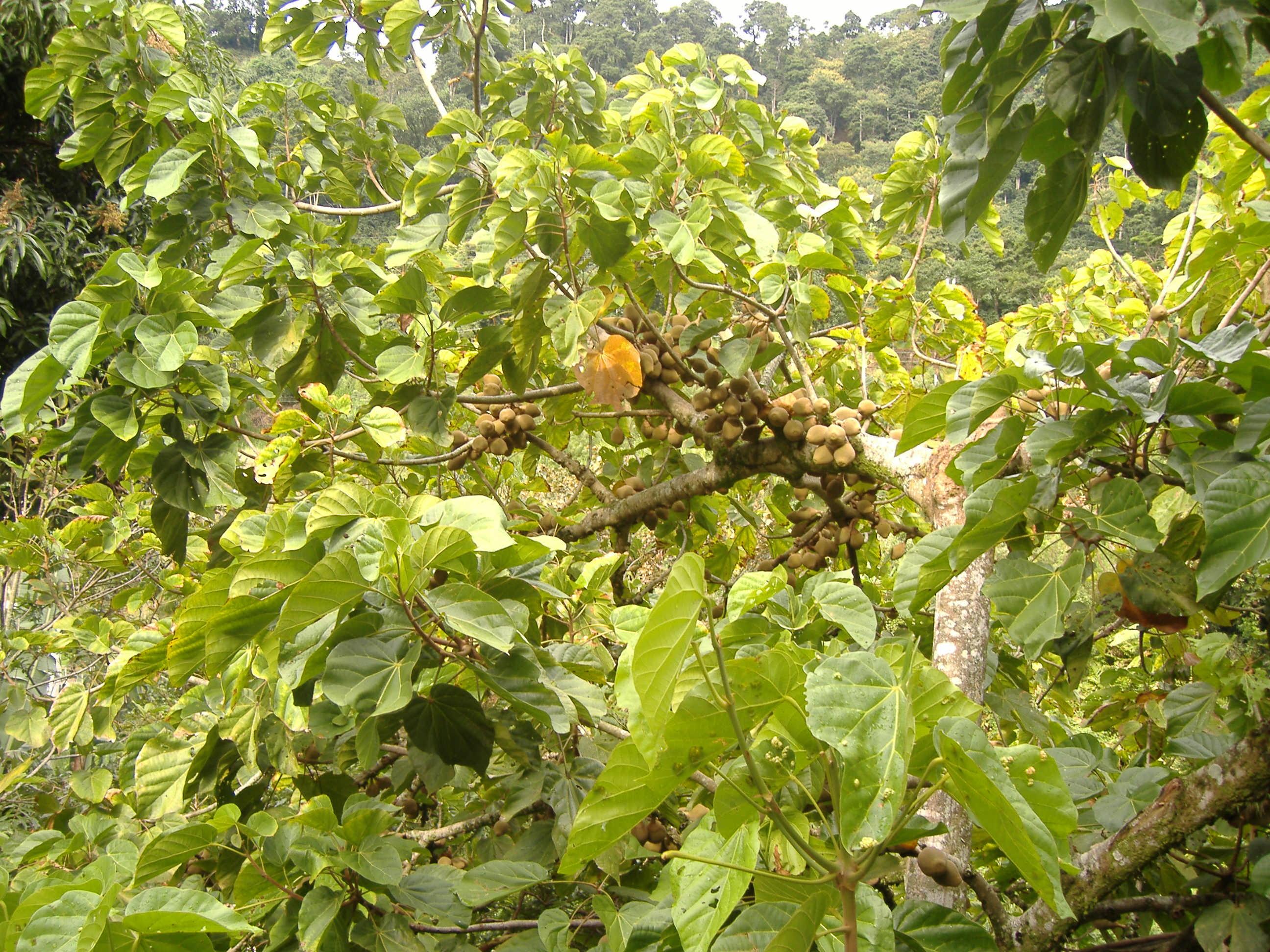 Arbre Fruitier D Intérieur quararibea cordata — wikipédia