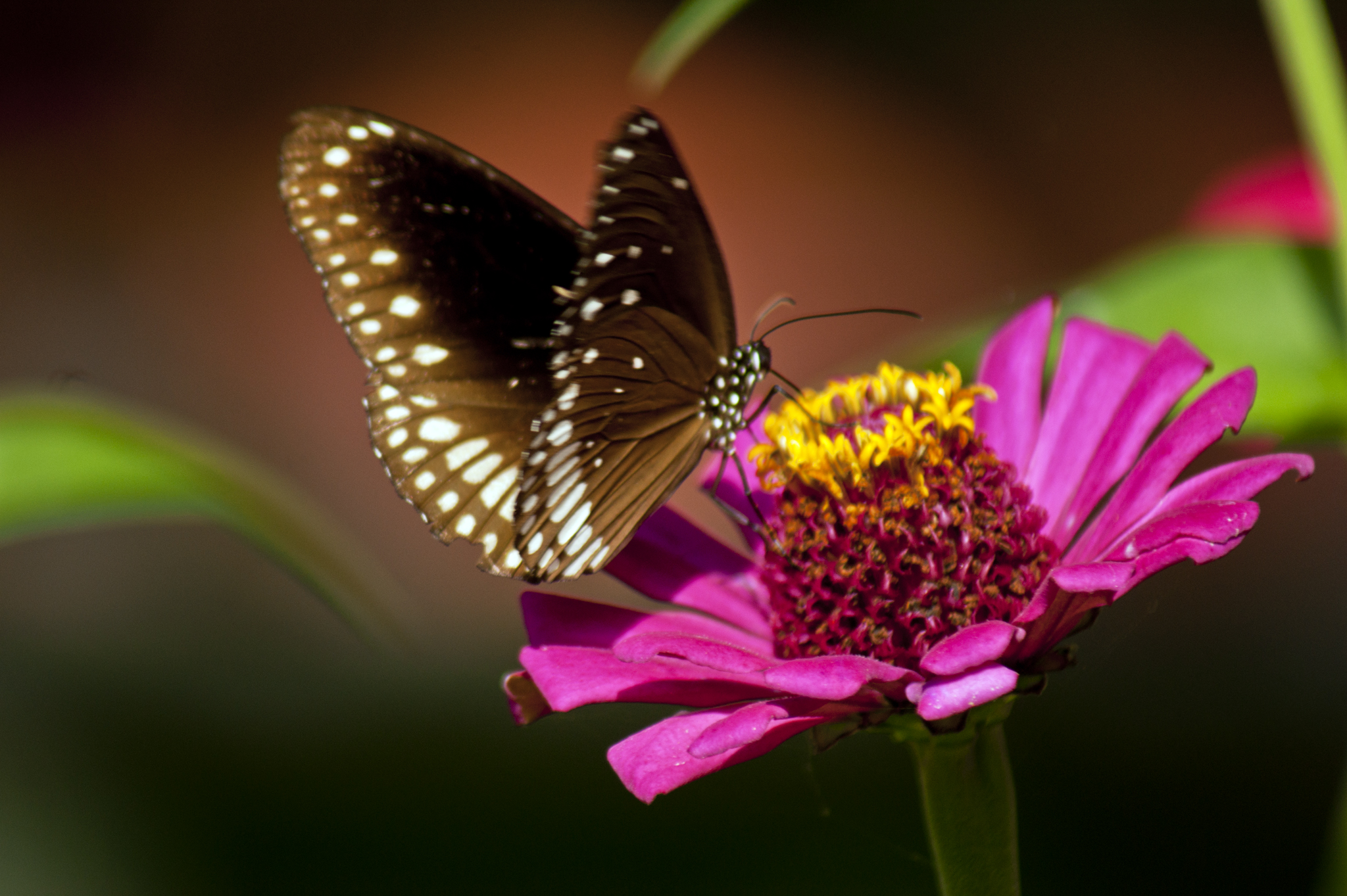 file zinnia angustifolia flower and butterfly jpg