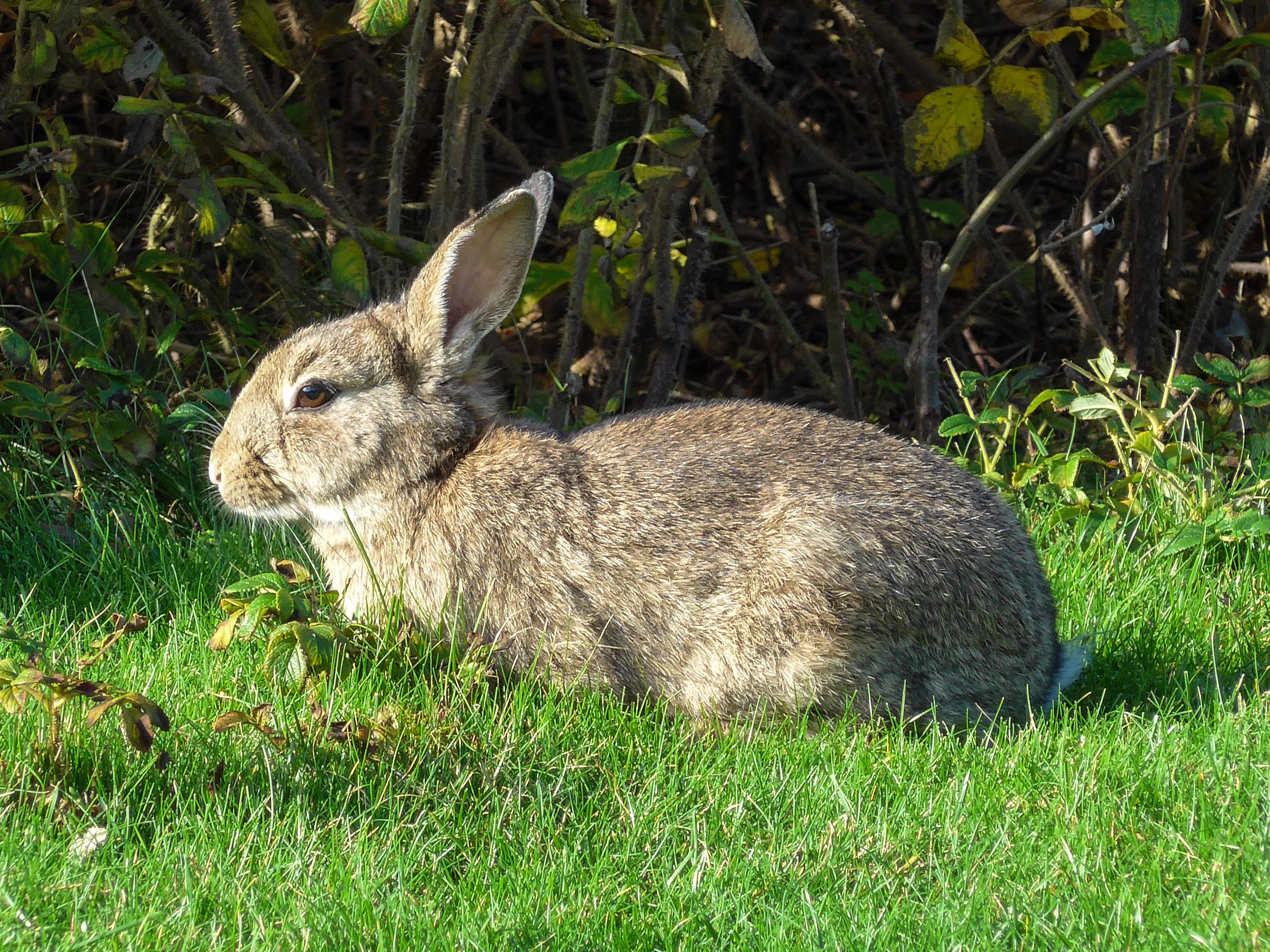 File:20141101 Wild konijn (Oryctolagus cuniculus) Strandweg Nes Ameland Fr  NL.jpg - Wikimedia Commons