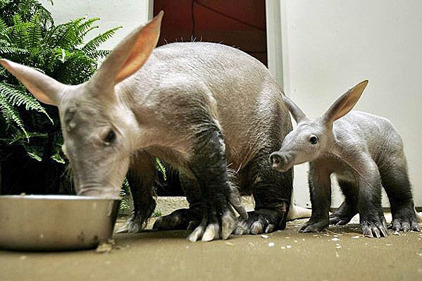 Aardvark from wikipedia (wikimedia commons, CC BY-SA 2.0)