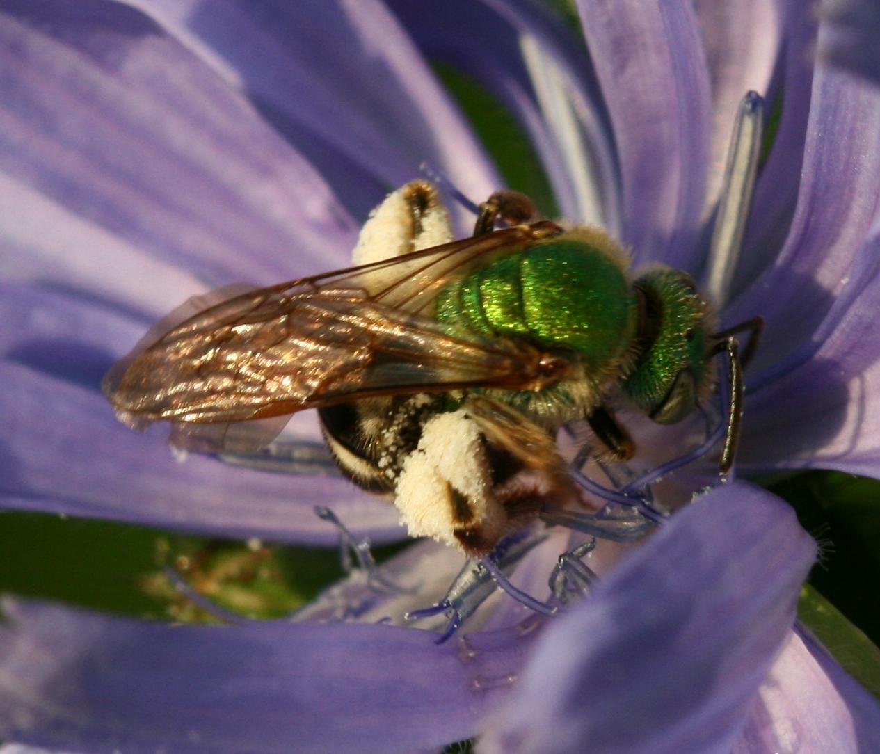 File:Agapostemon virescens - female.jpg