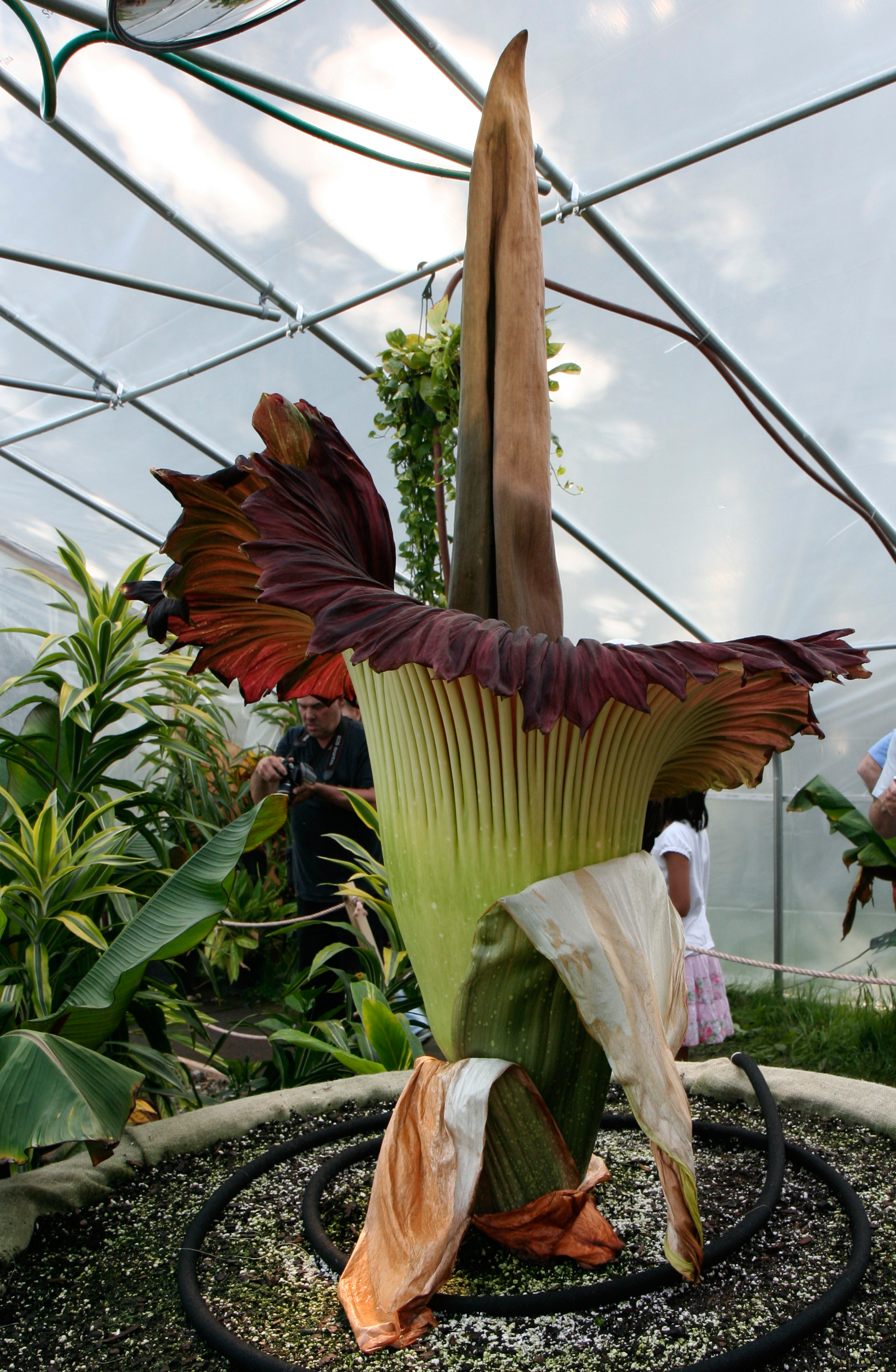 File Amorphophallus titanum morticia june 20 2012 galawebdesign Wikimed