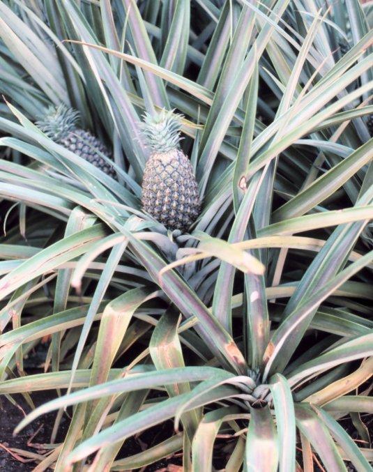 パイナップル - Wikipedia