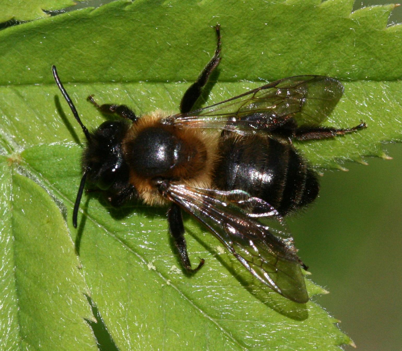 Erdbienen Wikipedia