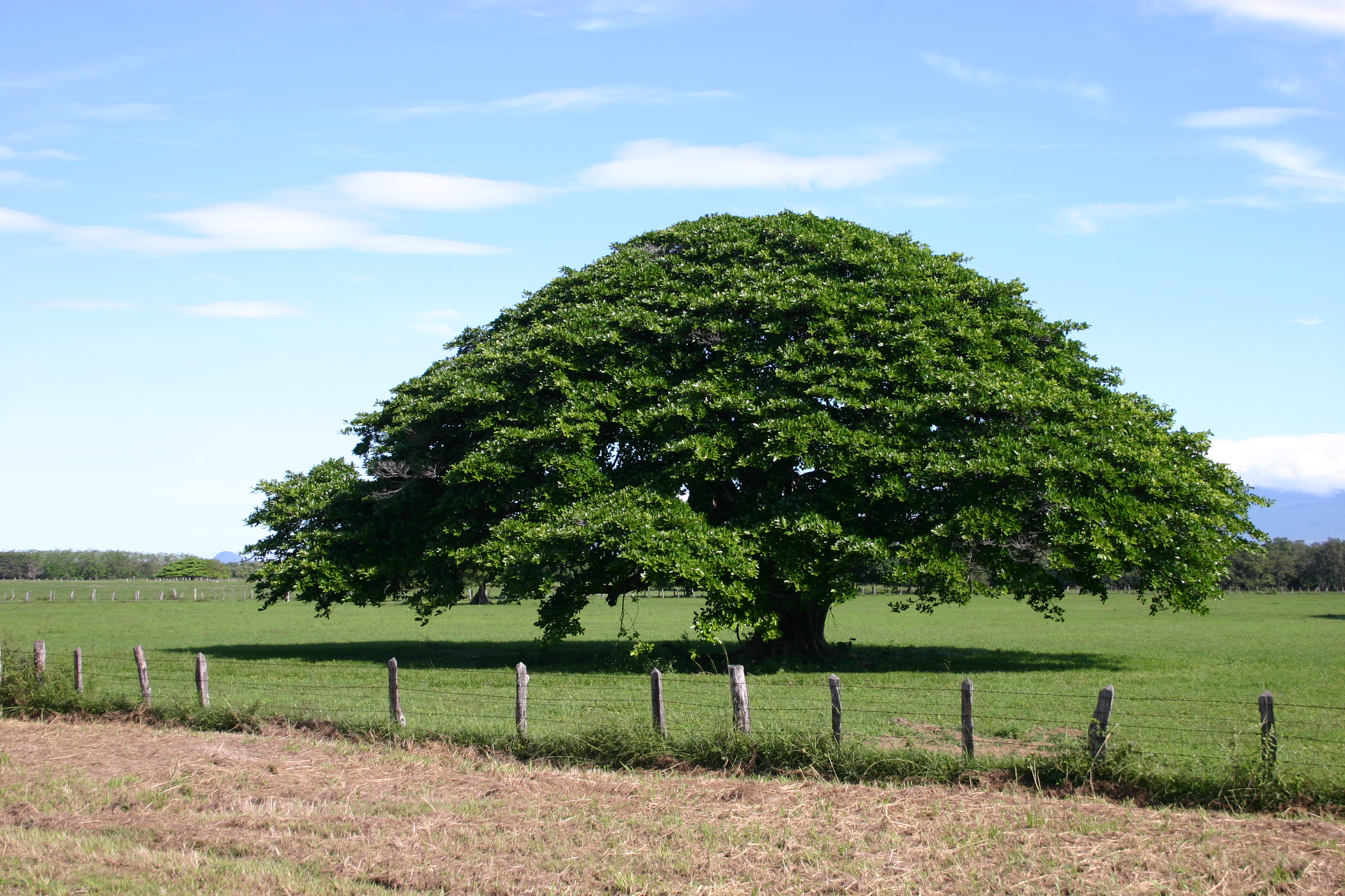 File arbol de guanacaste 1 jpg wikimedia commons for Cuantos tipos de arboles hay en el mundo