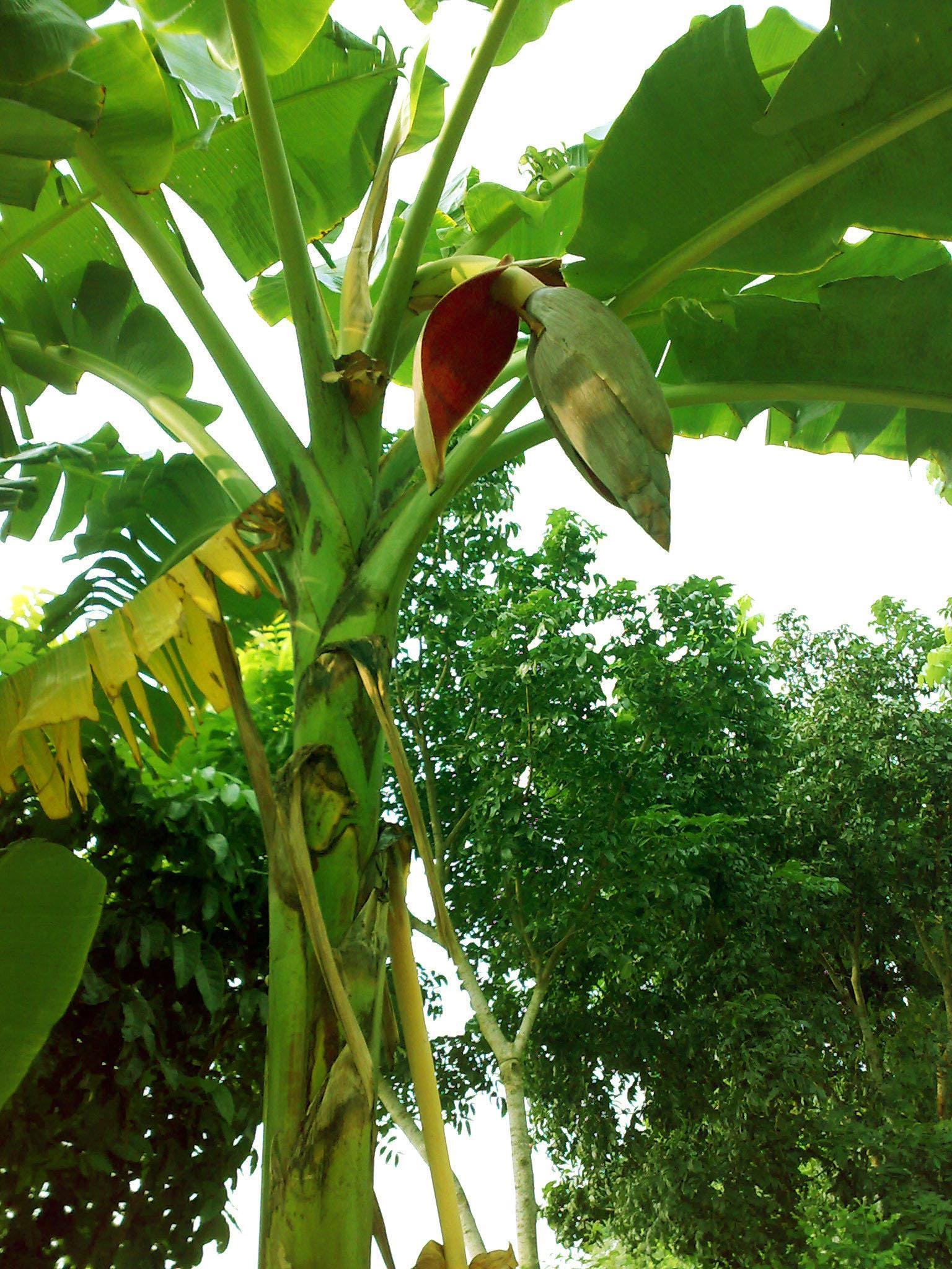 banana tree - photo #15
