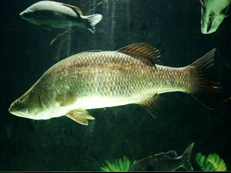 barramundi wikipedia