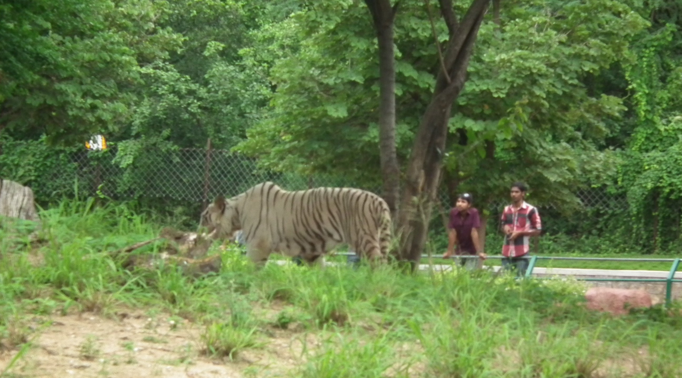 File Bengal White Tiger From Nehru Zoo Hyderabad 4267 Jpg