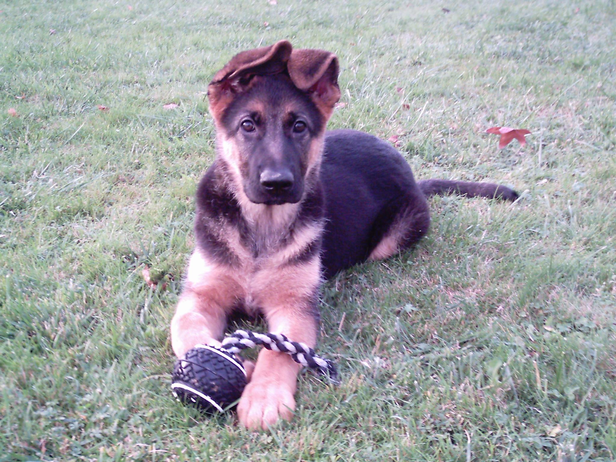 Filebessie The German Shepherd Puppy 2006jpg Wikimedia Commons