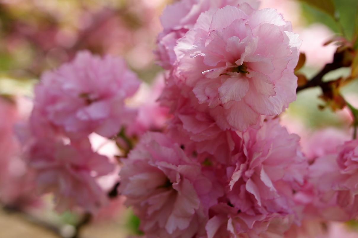 File Big pink flowers tree West Virginia ForestWander