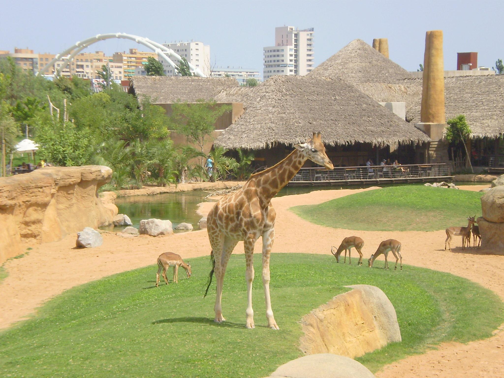 File bioparc jirafa de fondo valencia jpg wikimedia commons - Bioparc precios valencia ...