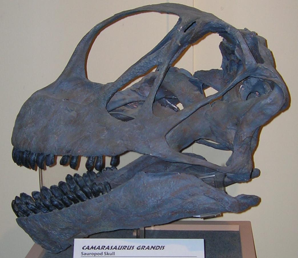 Diplodocus And Kentrosaurus Models: American_Museum_of_Natural_History_in_Manhattan,_New_York