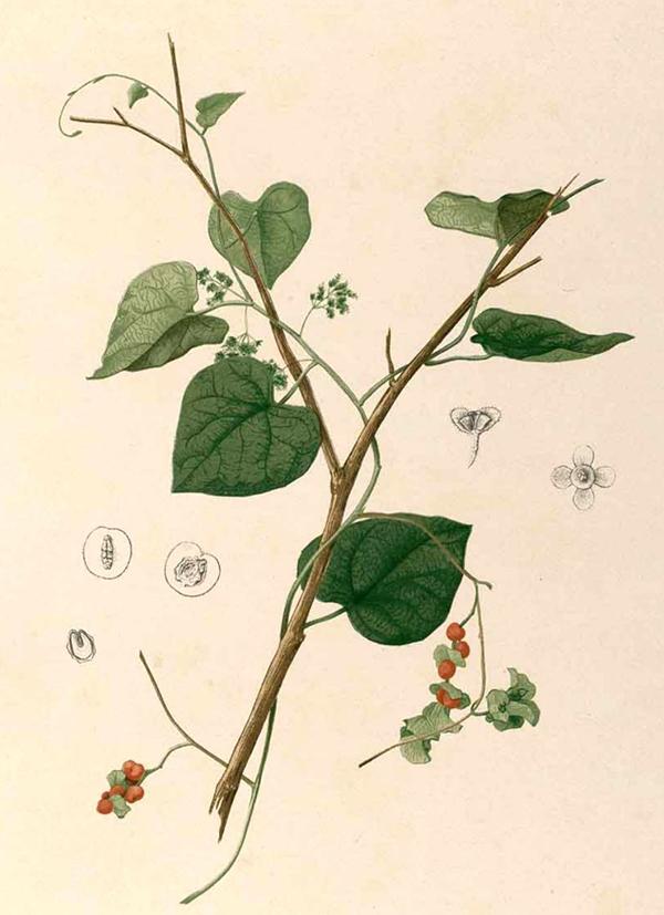 Cissampelos - Wikipedia