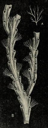 Crisia denticulata (Lamouroux 1812)