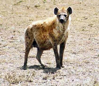 معلومات عن بعض الحيوانات المفترسة .. Crocuta-hejda.jpg