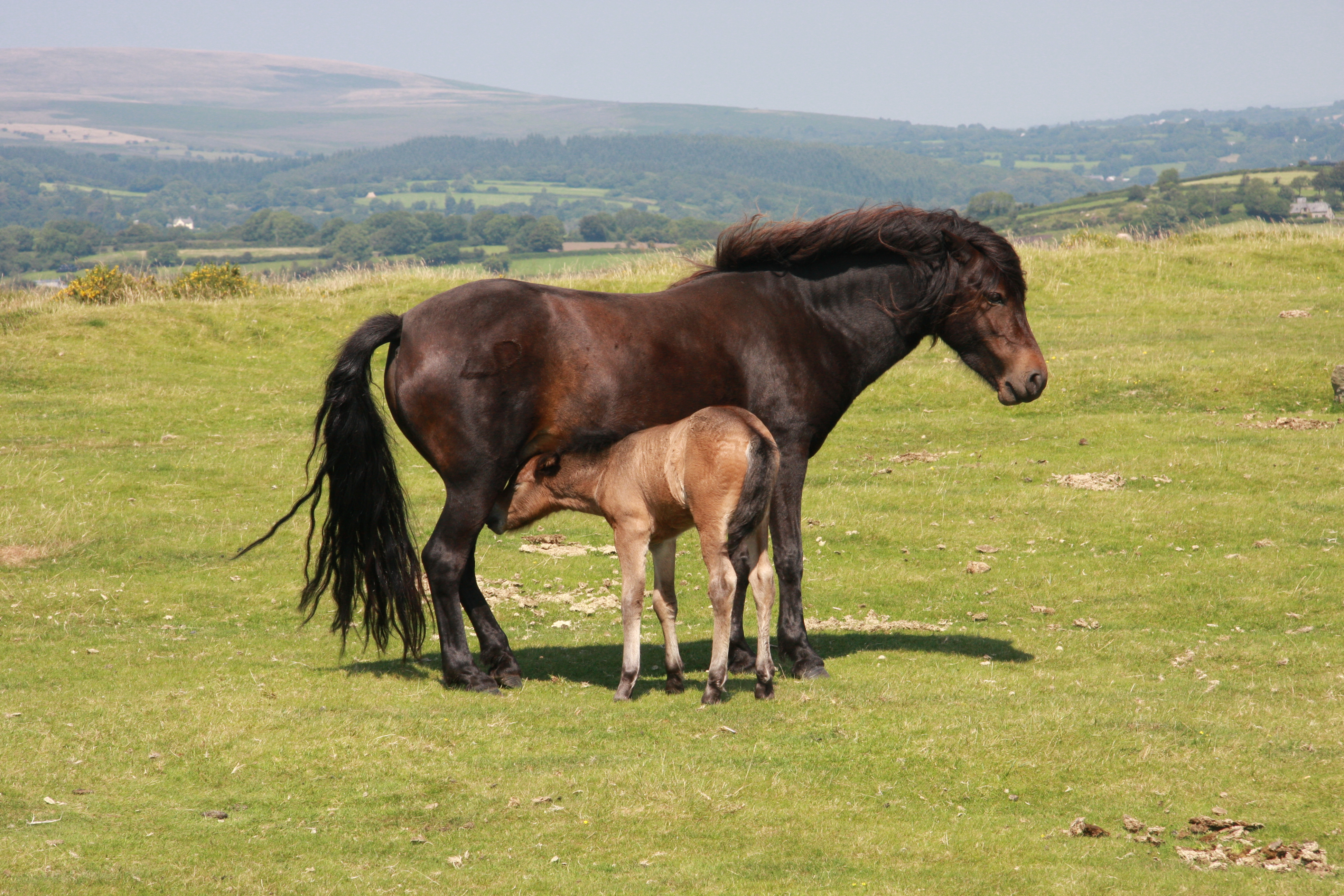 Foal Mother File:dartmoor Mother And Foal