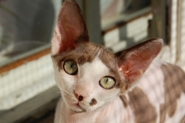 Devon Rex female 2