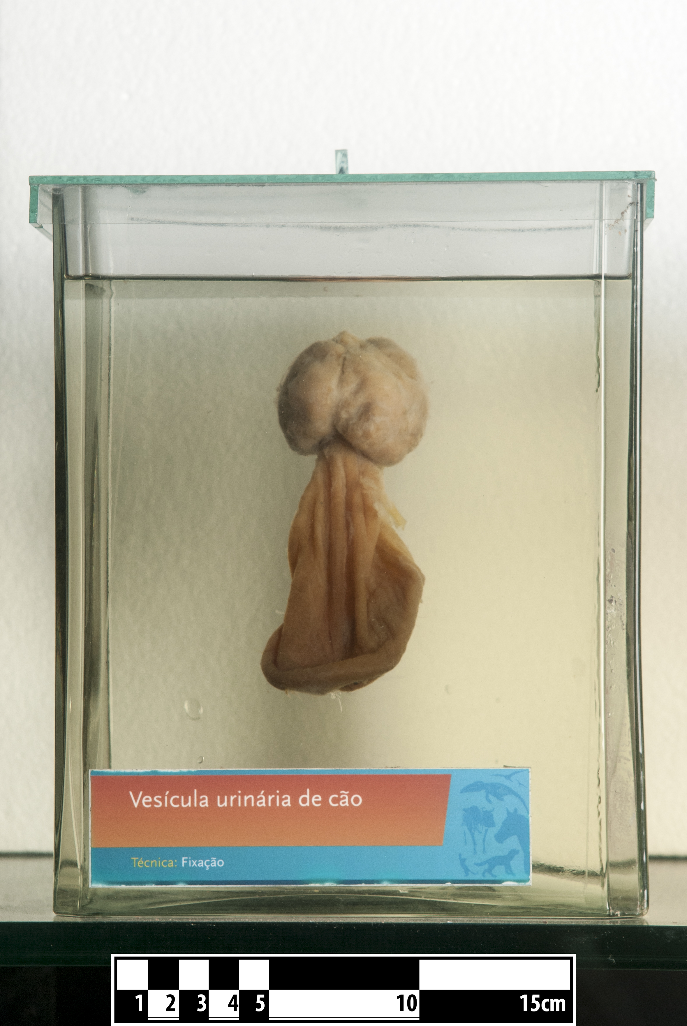 File:Dog urinary bladder- FMVZ USP-18.jpg - Wikimedia Commons