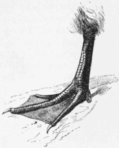Webbed foot animal feet with non-pathogenic interdigital webbing