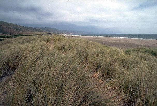 A coastal dune grassland on the Pacific Coast, USA