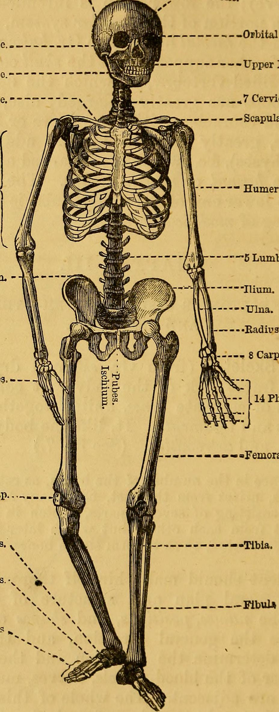 File:Elements of animal physiology, chiefly human (1873 ...