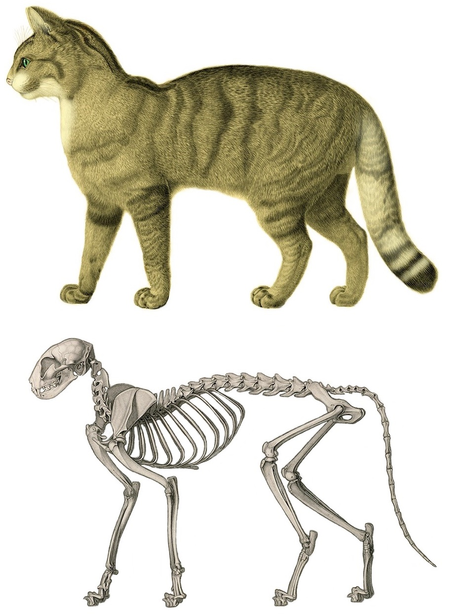 Cat Anatomy Wikipedia