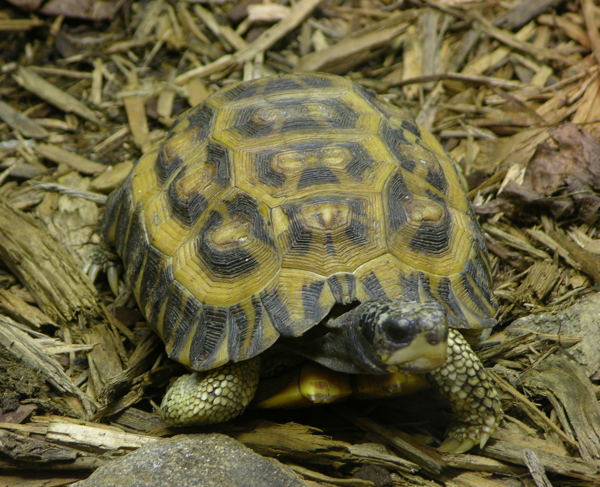 https://upload.wikimedia.org/wikipedia/commons/b/be/Flat-tailed_Tortoise_Pyxis_planicanda_2390px.jpg