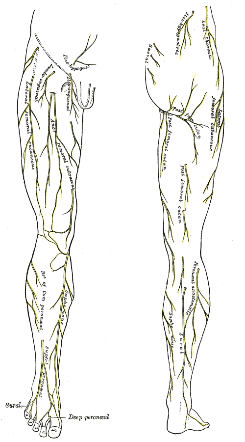 Infrapatellar Branch Of Saphenous Nerve Wikiwand