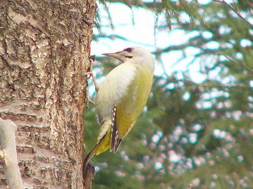 File:Grey-headed Woodpecker.jpg