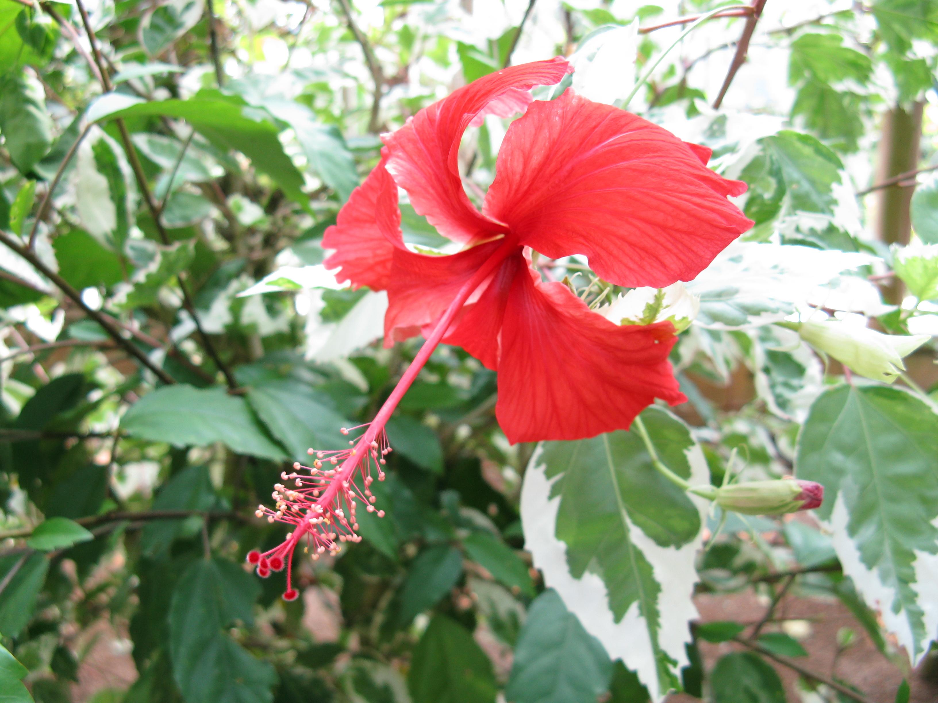 File hibiscus rosa sinensis 39 cooperi 39 wikimedia commons for Hibiscus rosa sinensis