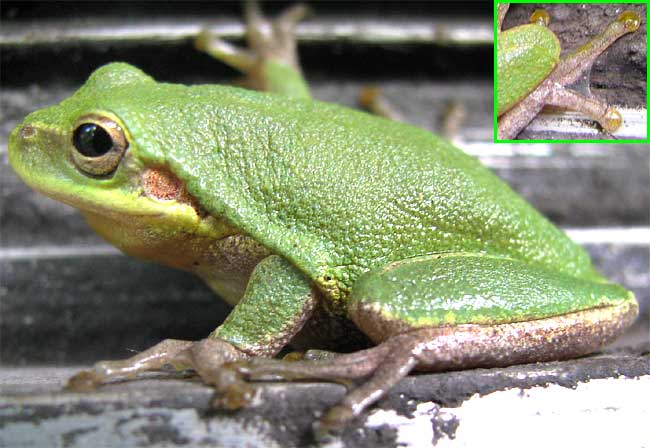 Squirrel tree frog - Wikipedia