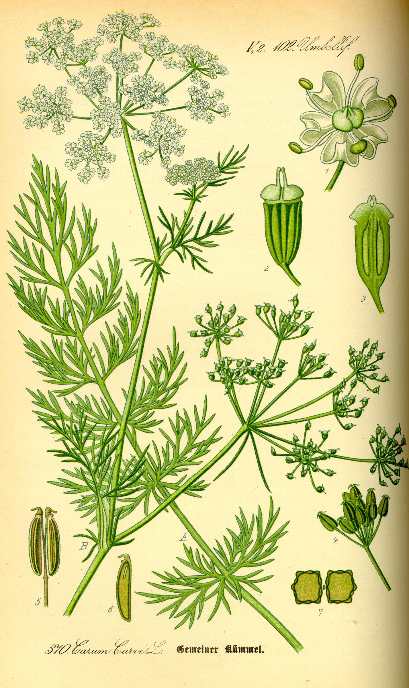 File illustration carum carvi0 jpg wikimedia commons