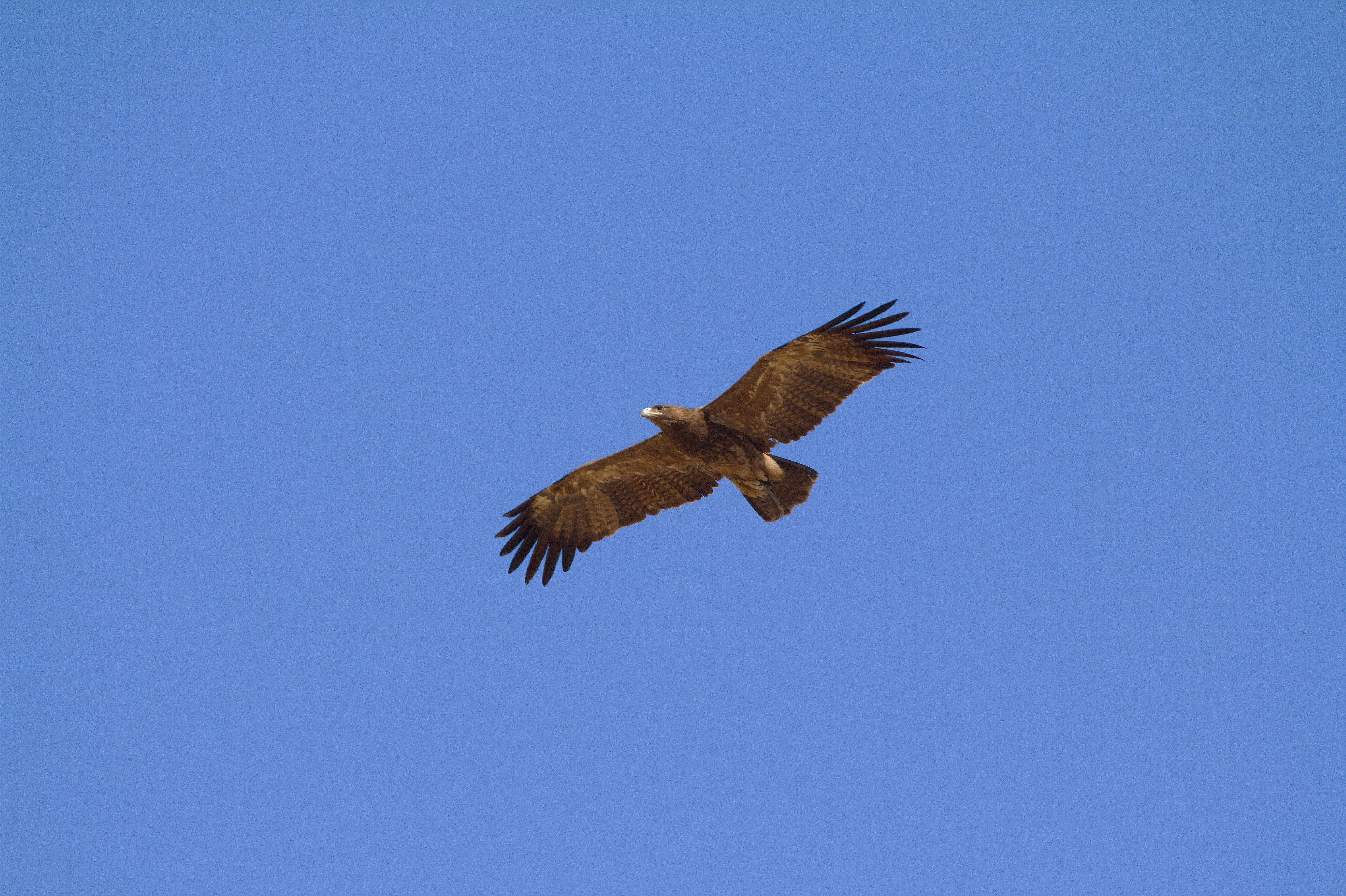 File:Indian Spotted Eagle in flight view.jpg - Wikimedia Commons