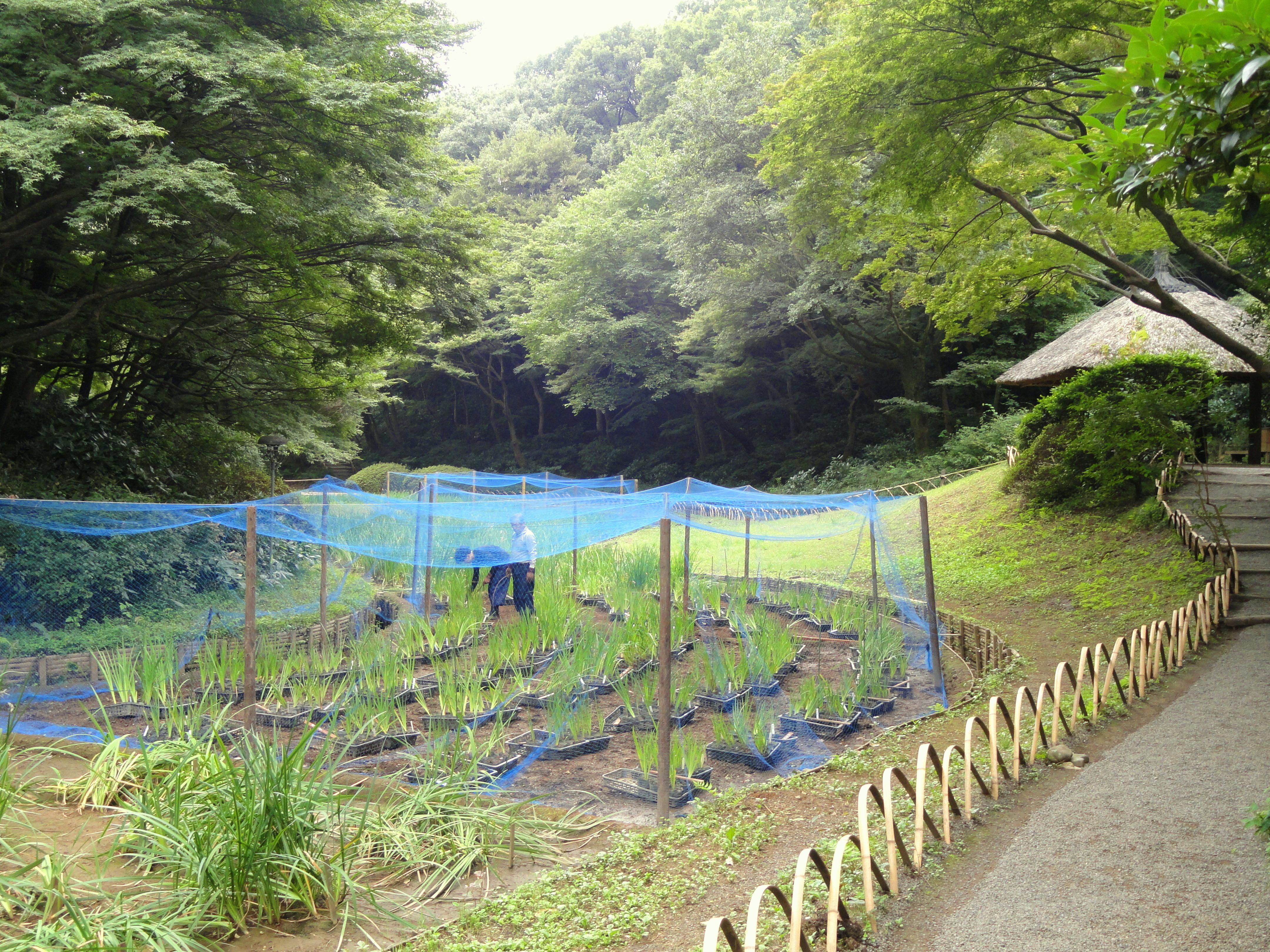 File:Iris Garden   Meiji Shrine Inner Garden   DSC04905.JPG