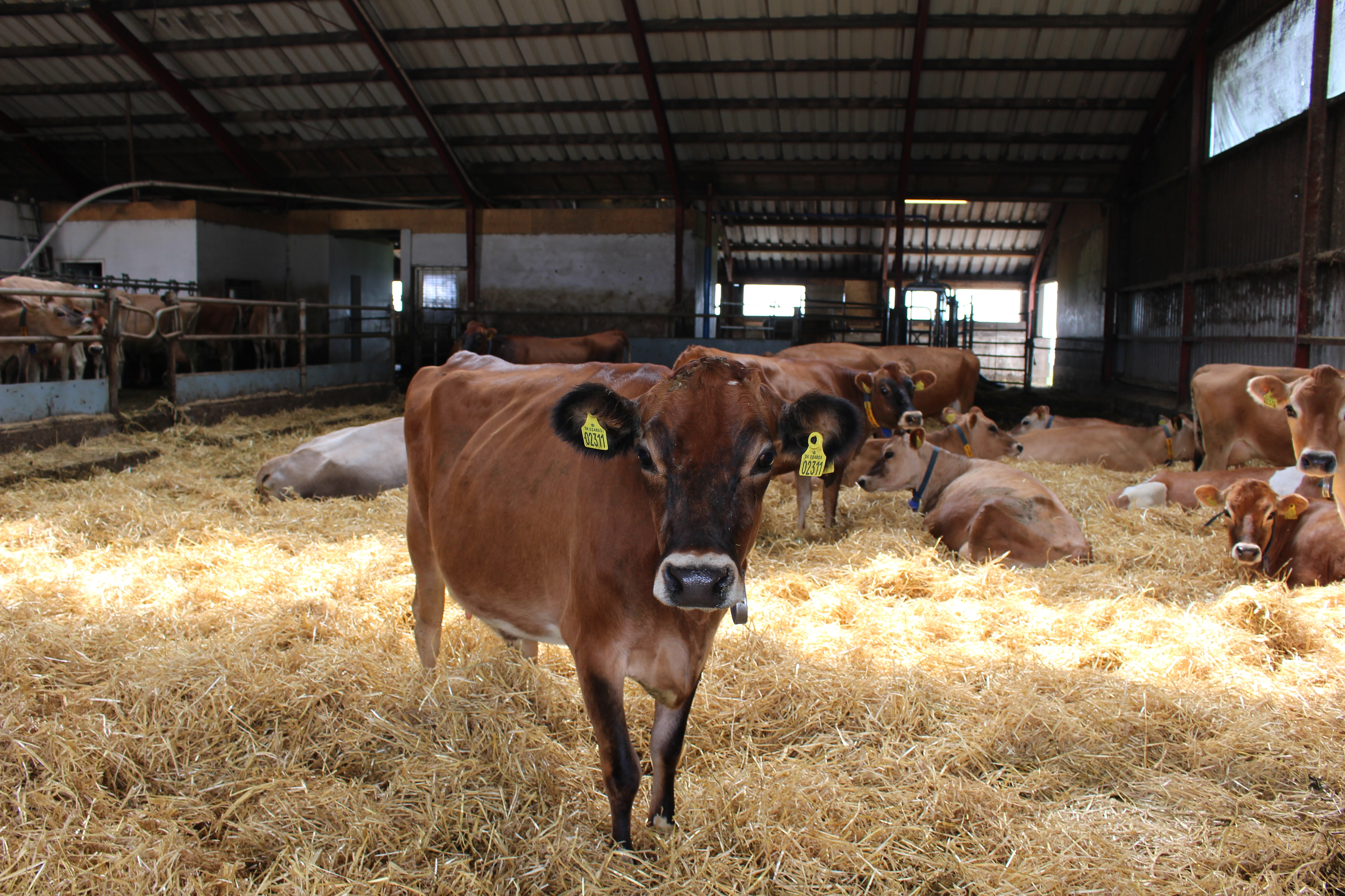File Jersey Cow In Straw Bedding Jpg Wikimedia Commons