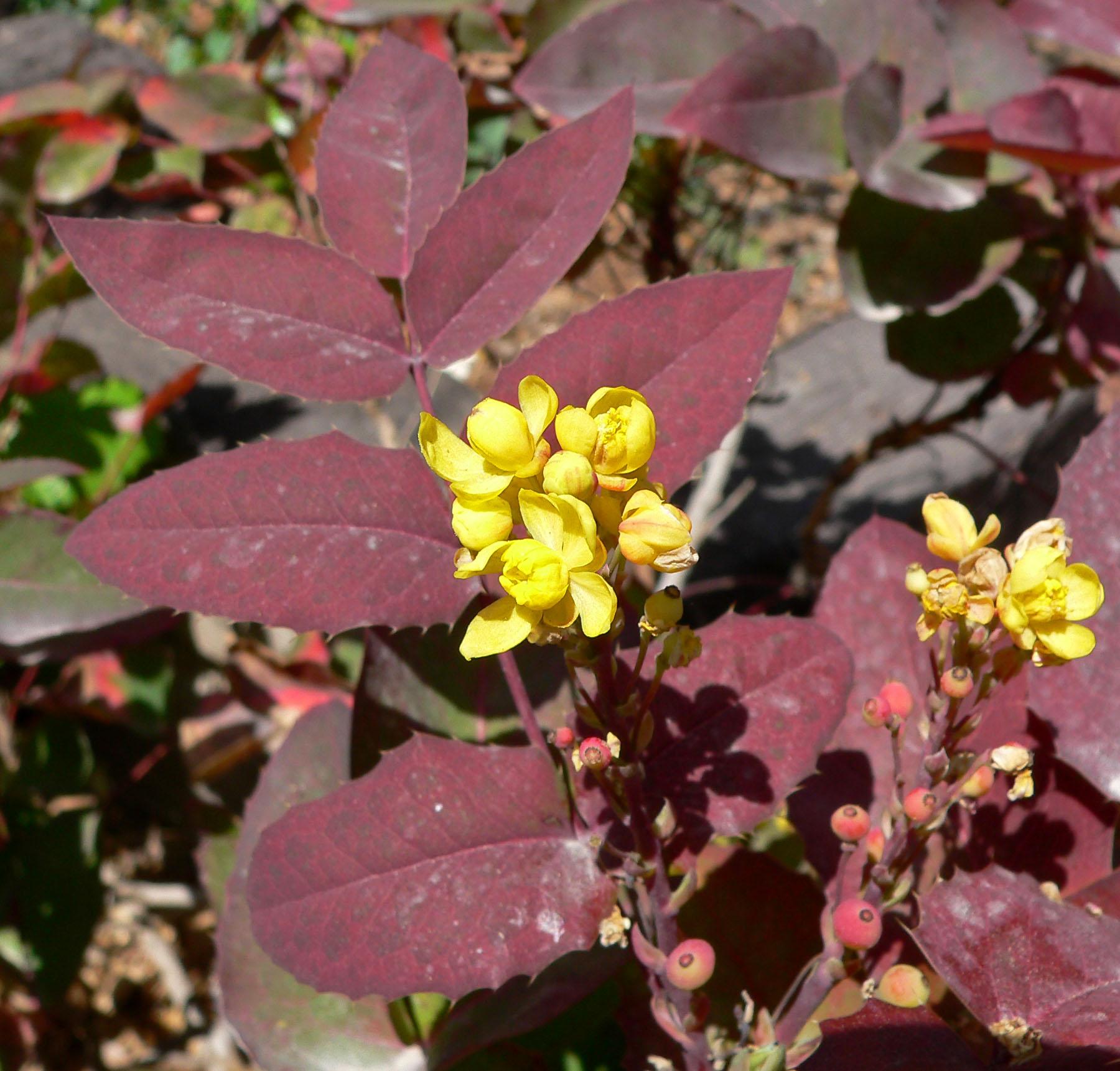 mahonia aquifolium  u0026 39 compacta u0026 39