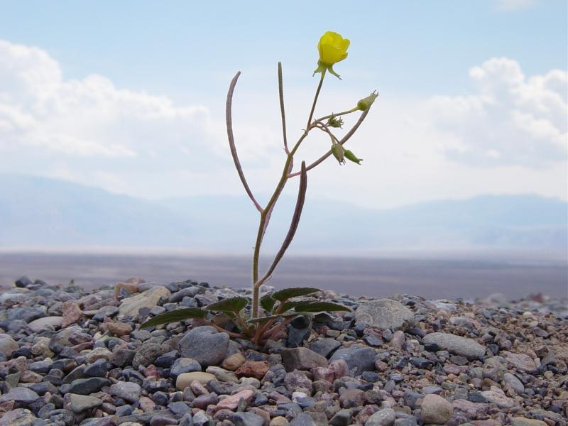 File:Mojave suncup flower at the mouth of Titus Canyon.JPG