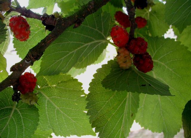 feuillage et fruits u murier platane